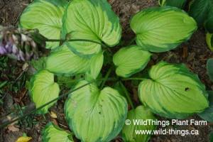 Hosta: Old Glory
