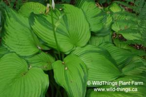 Hosta: On Stage