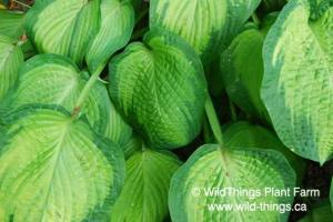 Hosta: Paul's Glory