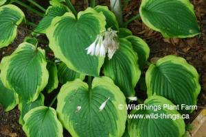 Hosta: Satisfaction