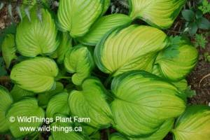 Hosta: Stained Glass