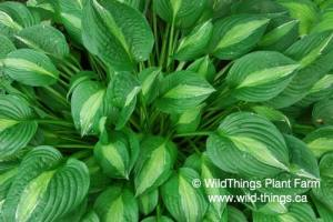 Hosta: Striptease