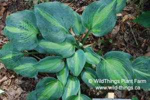 Hosta: Touch of Class